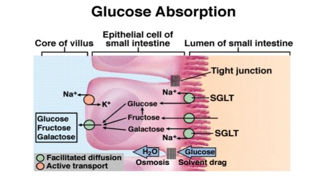 Digestia si absorbtia glucidelor